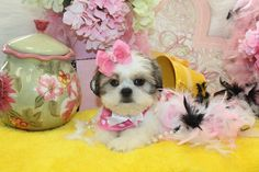 Teacup Shih Tzu puppy for sale in Florida.
