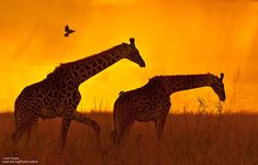 Two giraffes in sunset at Serengeti National Reserve, Tanzania. Photo donated by National Wildlife Photo Contest entrant Carol Geake. I Love Cats, Big Cats, African Sunset, Sunset Photos, Sea Creatures, Wildlife Photography, Beautiful Creatures, Mammals, Fur Babies