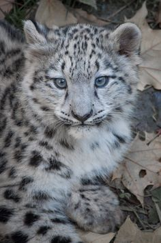 Snowleopard, Stuttgart VII #CUB VERSION by Areksim on DeviantArt