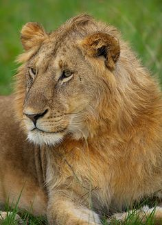 Juvenile Male Lion, Maasai Mara, Kenya by Dean Tatooles