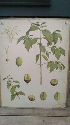 Botanische Schoolplaat  Koffieboon - Coffea arabica