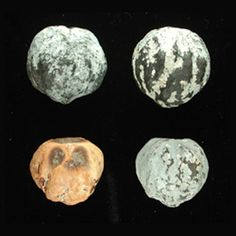 Candlenut, Aleurites moluccana