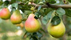 Plantări în livadă: de ce nu se prind pomii fructiferi. 10 greșeli de evitat! Pear Trees, Fruit Trees, Calendar, Beautiful, Articles, Fall, Yearly, Plant, Autumn