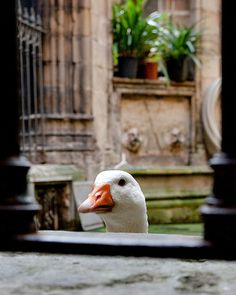 Geese in the Cathedral (Barcelona)