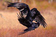 Raven scuffle