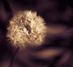 A dandelion seed pod is the Holy Grail of the macro photographer, Nothing finer to cut your teeth on.