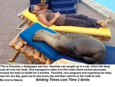 This is Panchita, a Galapagos sea lion. Panchita was caught up in a net, which left deep cuts all over her body. She managed to make it to this hotel where animal advocates nursed her back to health for 3 months. Panchita, now pregnant and expecting her baby sea lion any day, goes out to sea every day and then returns to the hotel to rest.