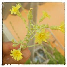Flor do alface (lactuca sativa) 2