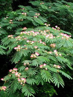 Persian Silk Tree - Mimosa Albizia julibrissin This is my favorite tree. I had no idea it was Persian. Flowering Trees, Trees And Shrubs, Trees To Plant, Garden Trees, Garden Plants, Patio Trees, Albizia Julibrissin Summer Chocolate, Persian Silk Tree, Baumgarten