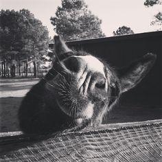 #donkeywhiskers  Black Jack