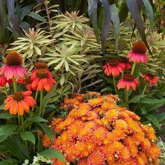 chrysanthemum, euphorbia, echinacea - gorgeous for fall!