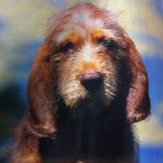 Otterhound Puppy with liver and red coloring.