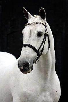 VDL CARDENTO Dutch jumper stallion