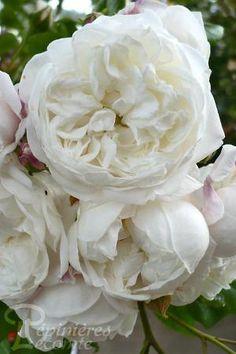 rosier rose synactif by shiseido delbard la guerre des roses b pinterest rose flowers. Black Bedroom Furniture Sets. Home Design Ideas