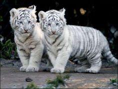 little white big cats