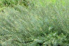 Niedrige Purpur-Weide   Die Salix purpurea 'Nana' (Niedrige Purpur-Weide) ist eine klein bleibende Pflanze, die sich zur Verwendung in Hecken mit einer Höhe von maximal 50-75 cm eignet.
