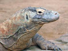 Komodo Dragon Pictures: Komodo Dragon Portrait
