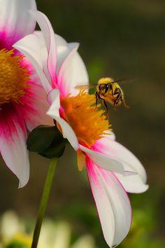 Bee on Dahlia. #Bienen www.apidaecandles.de