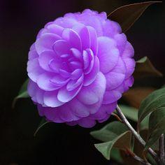 camellia flower - Google Search