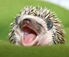 i dare you not to melt when you see this yawning baby hedgehog Hedgehog Facts, Pygmy Hedgehog, Cute Hedgehog, Hedgehog House, Cute Baby Animals, Funny Animals, Kids Animals, Small Animals, Animals Images