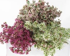 Assorted Waxflower Hybrids - Waxflower - Flowers and Fillers - Flowers by category | Sierra Flower Finder