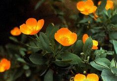 Dendromecon harfordii, Island Bush Poppy, but the actual flower color is yellow, not orange.