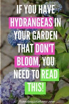 Smooth Hydrangea, Hydrangea Care, Hydrangea Not Blooming, Hydrangea Flower, Hydrangea Colors, Part Shade Perennials, Flowers Perennials, Planting Flowers, Types Of Hydrangeas