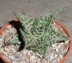 "GASTERALOE CV HELEN HAAGE VARIEGATED rare aloe gasteria succulent 2/"" pot plant"