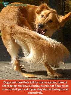Why dogs chase their tail