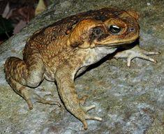 Bufo marinus - Cane Toad -- Sighted: Florida/Ocho Rios, Jamaica