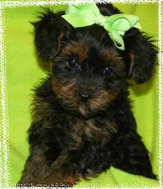 I fell in love with a #yorkiepoo at the pet store the other day, I want one so badly!! My new favorite pup
