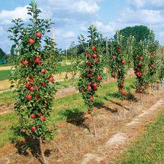 Колонновидные яблони и груши: сорта, уход, посадка