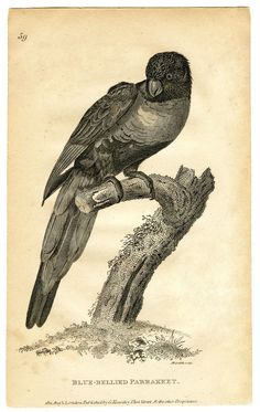 Antique Parrot Image Download - Instant Art - The Graphics Fairy