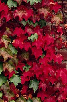 Boston Ivy, a popular clinging vine, has brilliant dark red color in Fall.