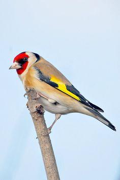 A beautiful goldfinch.