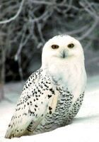 the Snowy Owl is the Provincial bird for Quebec