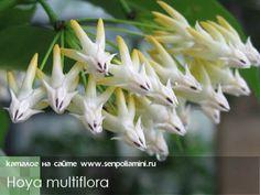 Hoya_multiflora.jpg (500×375)