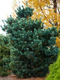 Pinus parviflora 'Peterson' is a dense, pyramid-shape evergreen with silvery, blue-green needles. It's a slow grower to 18 feet tall and 9 feet wide. Zones 5-8