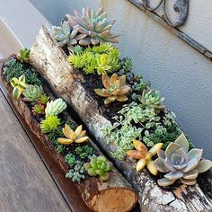 Mixed succulent gardens in hollowed out silky oak logs.