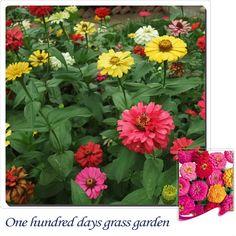 Amazon.com : Solution Seeds Farm New Heirloom 40 Seeds Tire Upon Tire Garden Rare Zinnia Flower Seeds : Patio, Lawn & Garden