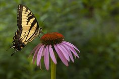 Another butterfly that loves purple coneflower - Eastern Tiger Swallowtail