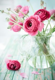 Image of plant, floral - 72108012 - Fresh ranunculus. Bouquet of pink ranunculus in a vase , - Rare Flowers, Exotic Flowers, Purple Flowers, Pink Roses, Beautiful Flowers, Pink Peonies, Yellow Roses, Fresh Flowers, Ranunculus Centerpiece