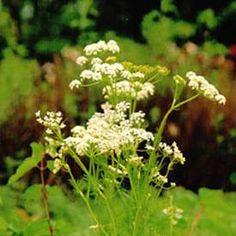 Kummin Herbs, Plants, Herb, Plant, Planting, Planets