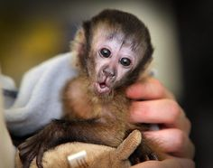 It must be 'monkey business' to be this cute. Baby 'Chequita', a Capuchin Monkey, loves the spotlight.