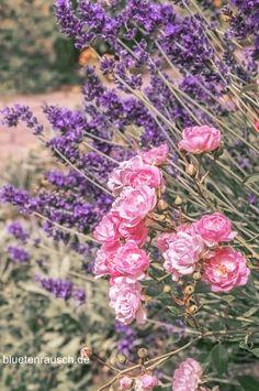 Rosen und Lavendel - harmonische Kombination.