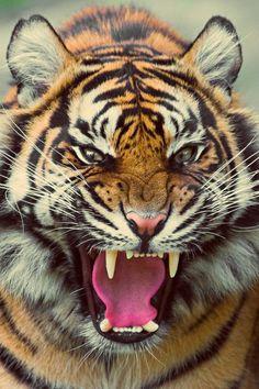Bengal tiger roaring.