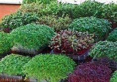 MICROGREEN GARDEN Indoor Grower's Guide to Gourmet Greens - 55 Species