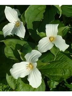 "trillium grandiflorum - nice for my ""bog garden"" Types Of Flowers, All Flowers, White Flowers, Beautiful Flowers, Unusual Flowers, Bog Garden, Shade Garden, Garden Plants, Alpine Plants"