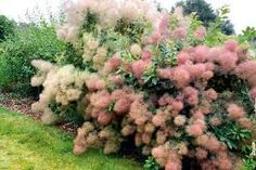 """Cotinus coggygria """"Young Lady"""" in my garden 2017"""
