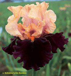 "'Ocelot' (Joseph Ghio, R. 1997). Seedling 93-2Q. TB, height 36"" (91 cm). Early to midseason bloom. Standards peach; falls maroon with blackish sheen; beards tangerine. 'Chinese New Year' X 'Romantic Evening'. Bay View 1998. Honorable Mention 2000; Award of Merit 2002. JC2015"